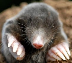 Photograph of Mole © Copyright David Cole